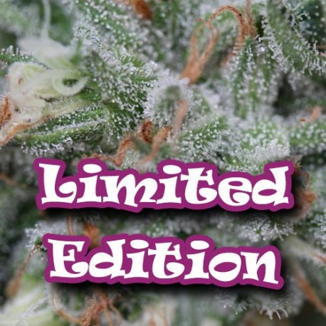 AlaDin Feminised Seeds - 5