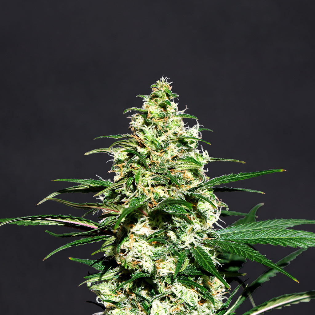 Amnesi-K Feminised Seeds