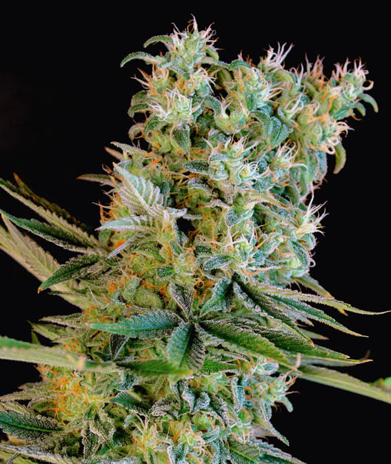 Amnesia Bilbo Feminised Seeds