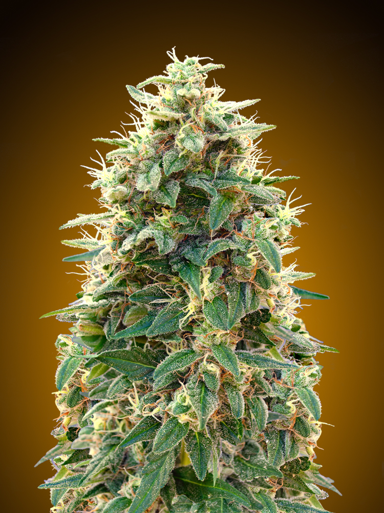 Automatik Collection #3 Feminised Seeds