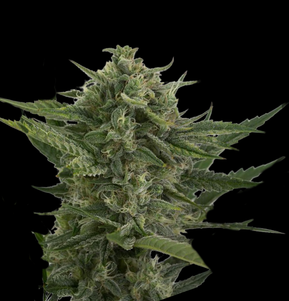 AUTO Reek'n Feminised Seeds