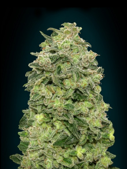 Auto Afghan Skunk Feminised Seeds
