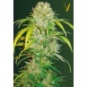 FREE SEEDS from VICTORY SEEDS - Auto Big Angel - Freebie worth €12