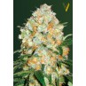 AUTO Bubblegum + PRO Feminised Seeds by Victory Seeds
