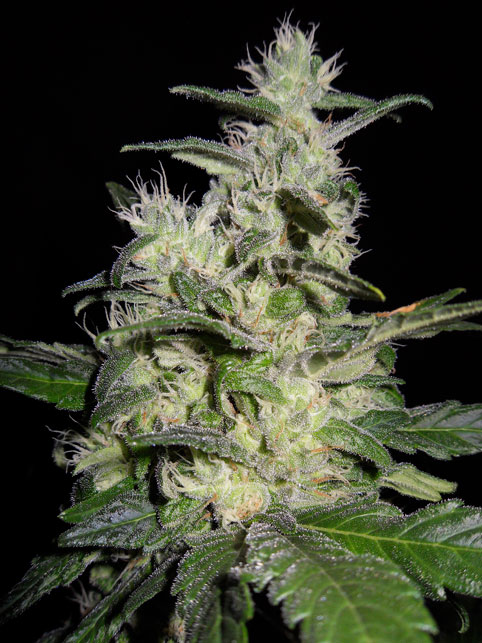 Azure Haze - 10 Regular Seeds