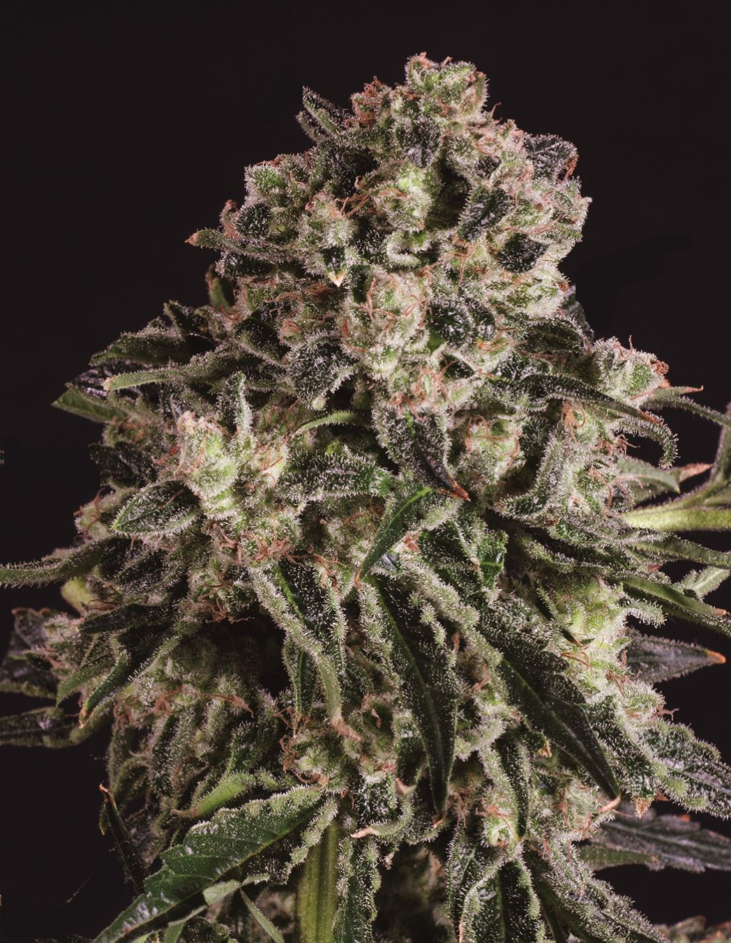 Black Critical x SCBDX Feminised Seeds