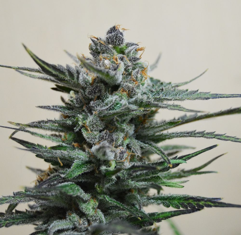 Blue Acid AUTO Feminised Seeds
