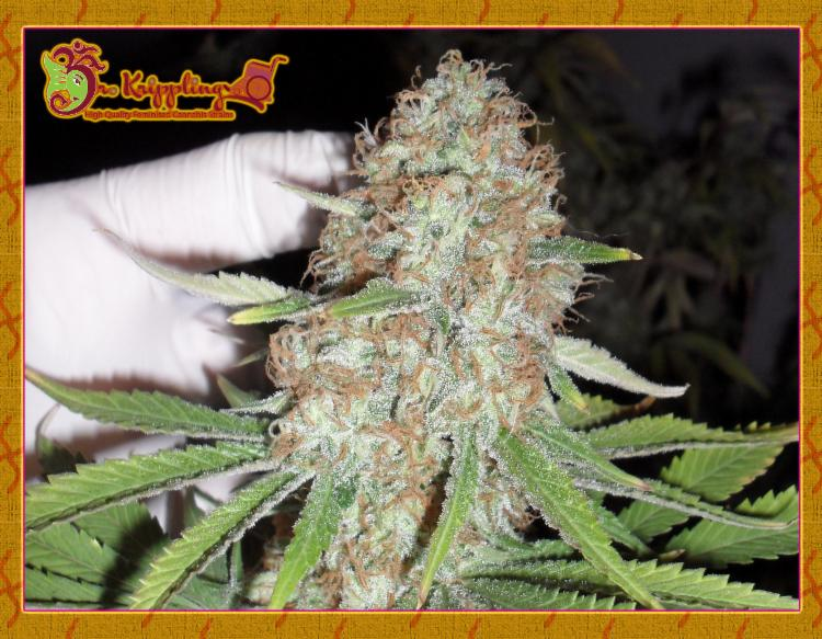 Blue Kripple Feminised Seeds