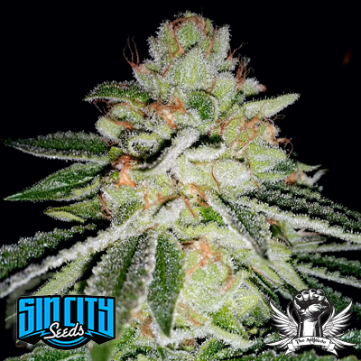 Blue Lime Pie Regular Seeds - 15