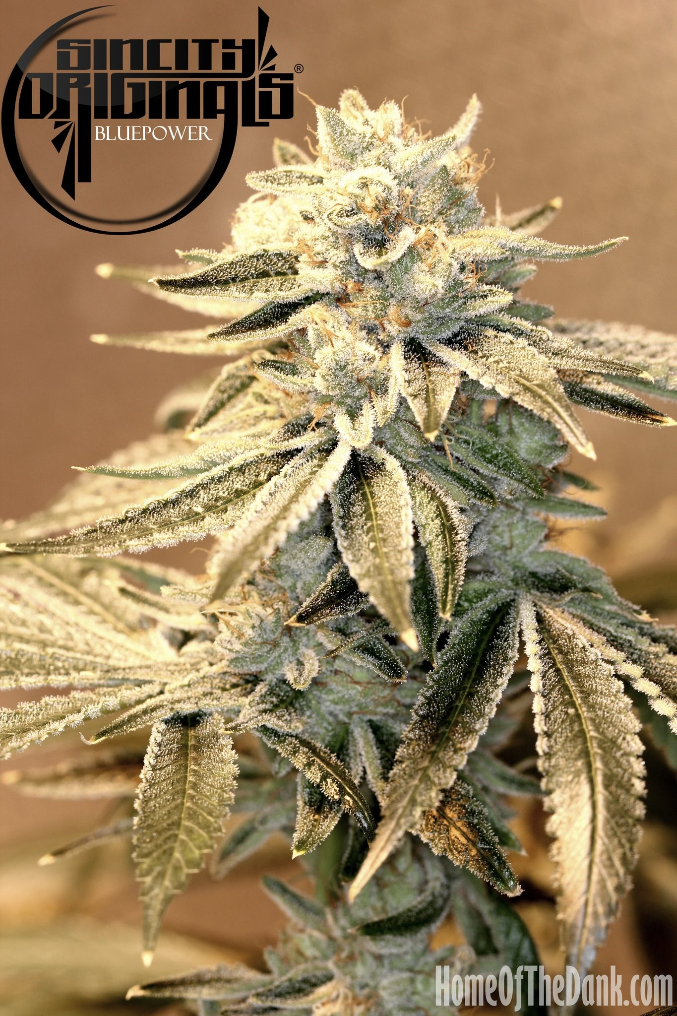 Blue Power F2 Regular Seeds - 15