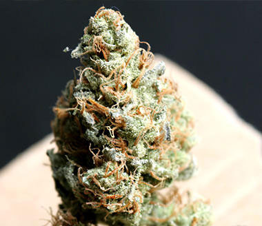 FREE SEEDS from TH Seeds - Bubble gum Fem - Freebie worth €14