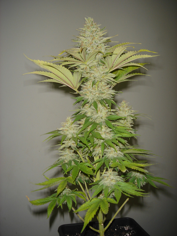 FREE SEEDS from RESIN SEEDS - Bubblicious Fem - Freebie worth €9