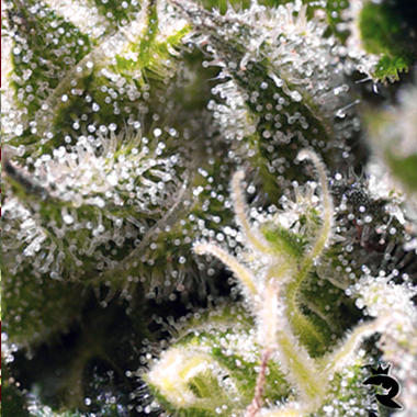 FREE SEEDS from SWEET SEEDS - Cream Caramel