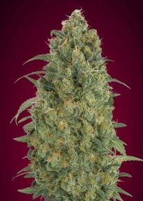 Collection #5 Auto Feminised Seeds - 6