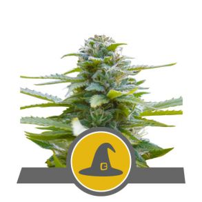 Exotic Witch Regular Seeds - 10