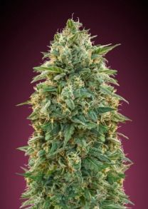 Collection #5 Feminised Seeds - 6