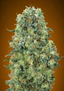 Collection #6 Feminised Seeds - 6