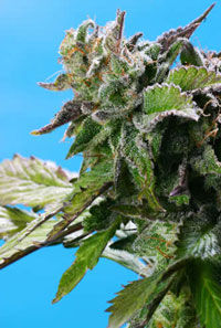 Grape Krush - 10 Regular Seeds