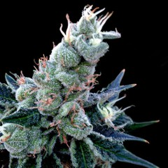 Double Alien 18 Feminised Seeds (GYO Collection) - 6