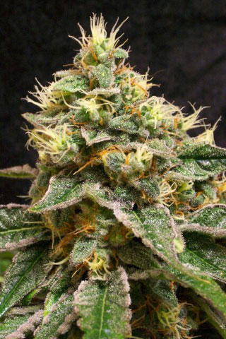 Confidential Cheese Feminised Seeds - 6