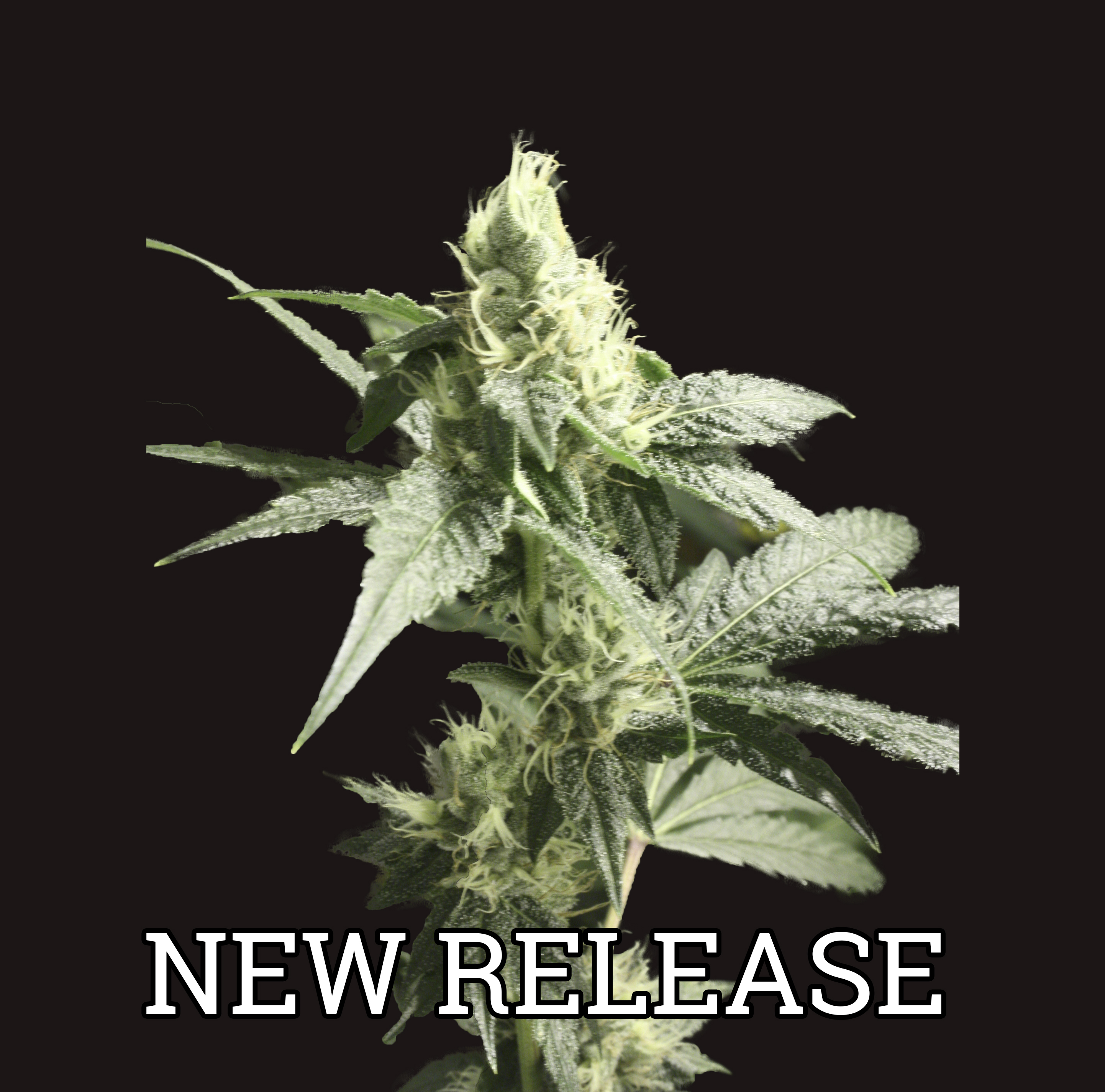 Golden Haze Feminised Seeds