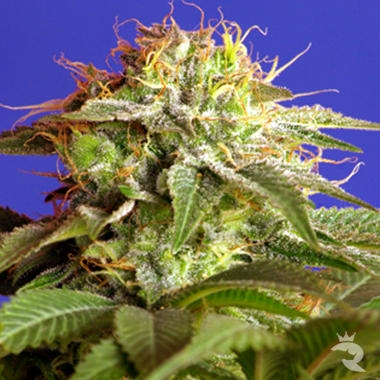 FREE SEEDS from Sweet Seeds - Green Poison