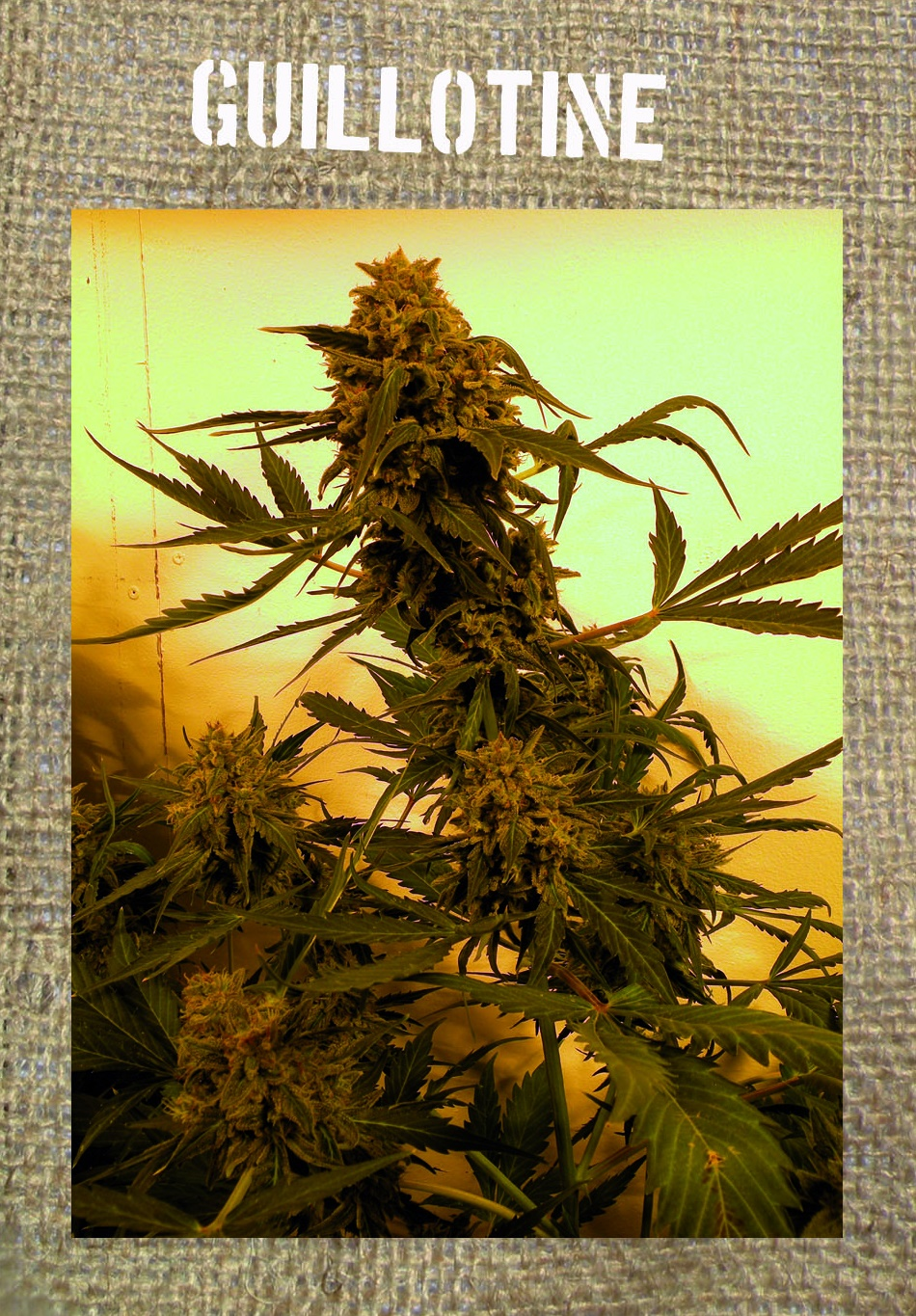 FREE SEEDS from French Touch - Guillotine Auto Feminised - Freebie worth €14