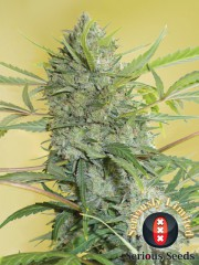 FREE SEEDS from SERIOUS SEEDS - Serious Happiness Fem Freebie worth €13