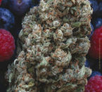 Hashberry Regular Seeds - 10