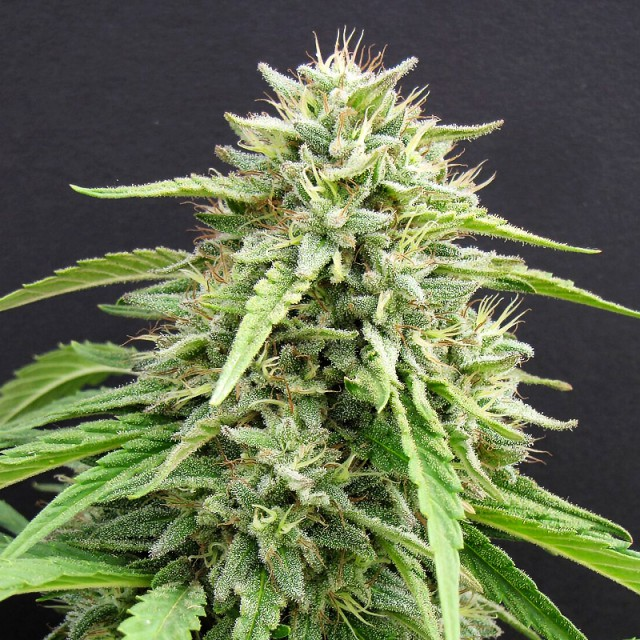 Hippie Killer Feminised Seeds - 5