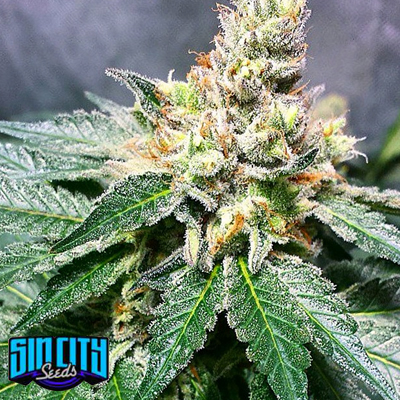 Lilac Jack Regular Seeds - 15