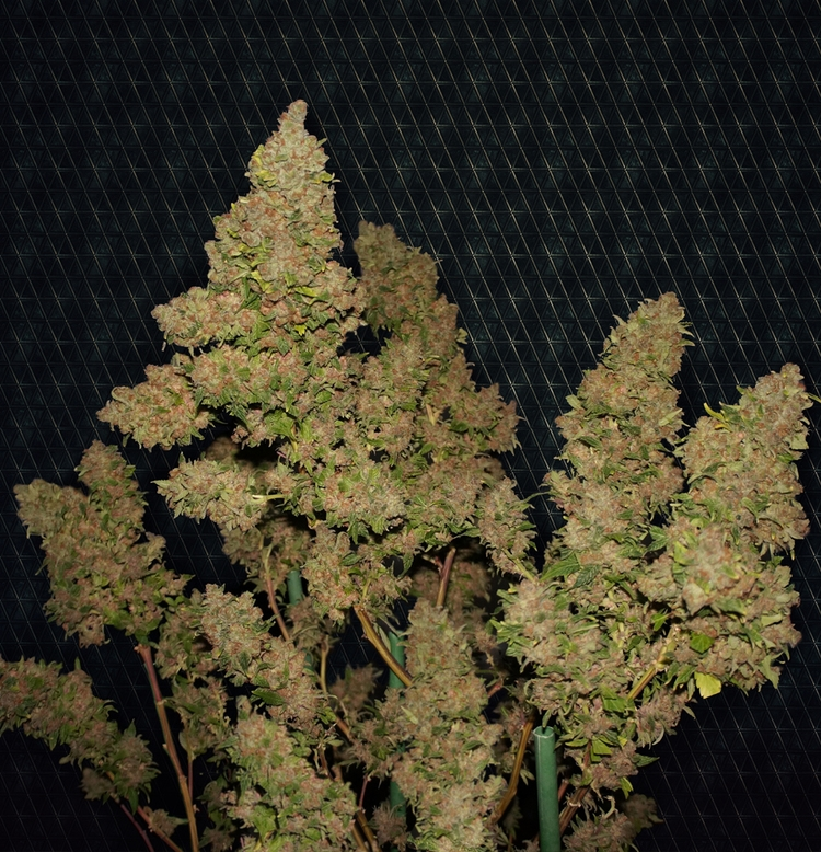 FREE SEEDS from TH Seeds - Mother Of Berries Fem - Freebie worth €20
