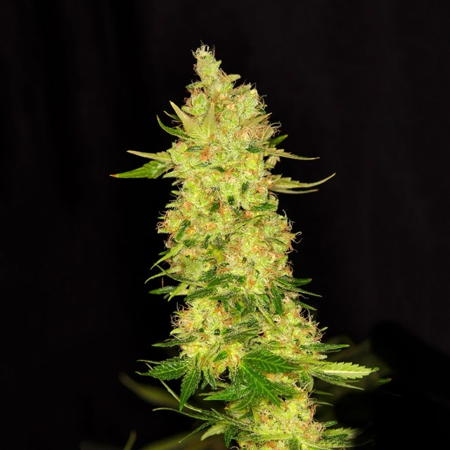 Northern Cheese Feminised Seeds