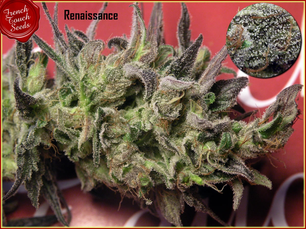 FREE SEEDS from FRENCH TOUCH - Renaissance worth €15