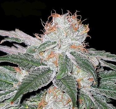 Blueberry Fem by Seedsman - Freebie worth €14