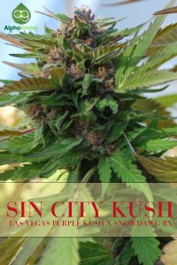 Sin City Kush Regular Seeds