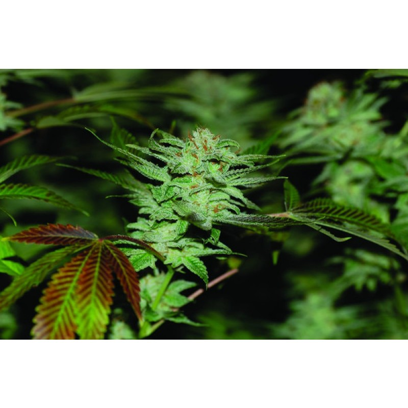 ** FREE GIFT FROM SEEDSMAN ** - 2 x Sour Kush Feminised Seeds (DNA Genetics)