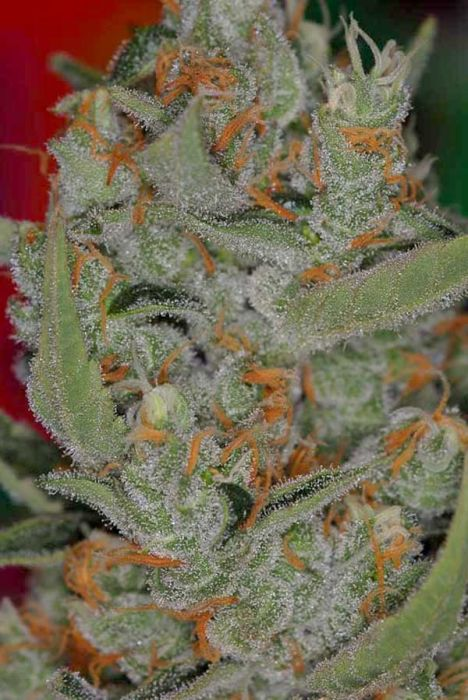 FREE SEEDS from TGA SUBCOOL - Space Candy Reg