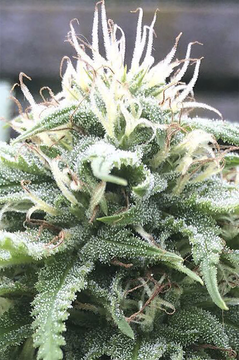 The White Star Regular Seeds - 12